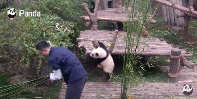 飼育員さん大好き子パンダ