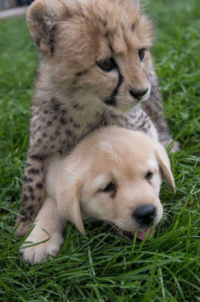 チーター 動物園 サポート犬 ラブラドールレトリバー