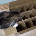 ダンボールに入ろうとして入れない猫