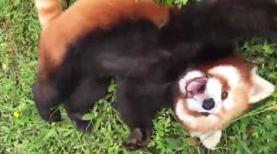 秋吉台自然動物公園サファリランド レッサーパンダ 優香 遊んで攻撃