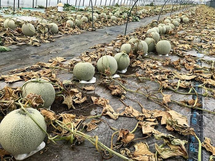 【これはヒドイ】除草剤が撒かれて6600玉の農家のメロンが全滅!