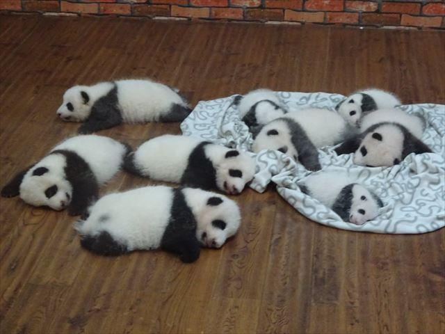 パンダ 赤ちゃん