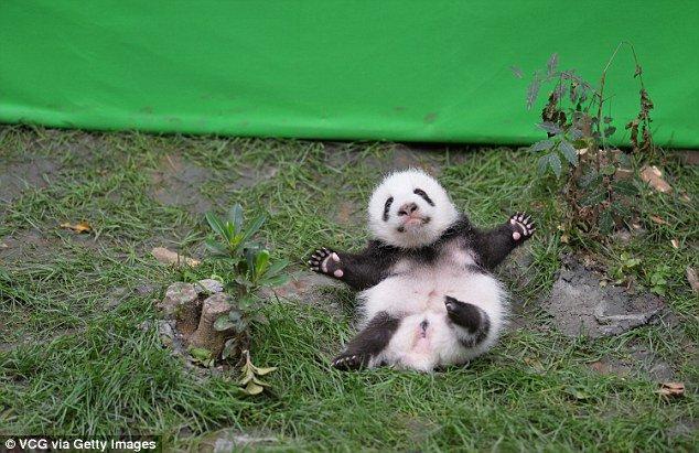 日光浴中に転がり落ちる子パンダが可愛すぎると話題に!
