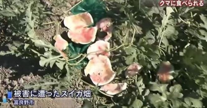 富良野市でスイカ畑がクマの被害に→そのスイカの名前に驚愕の事実が!