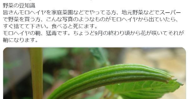 【死ぬ可能性も】モロヘイヤから鞘(さや)が出ていたら絶対に食べないでください!【毒性有り】