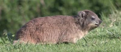 ナキウサギ(rock rabbit)