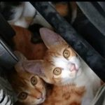 【拡散希望】今の時期、猫バンバンだけでは不十分!必ず車のボンネット開けてエンジンルームに侵入してないか目視して欲しい!