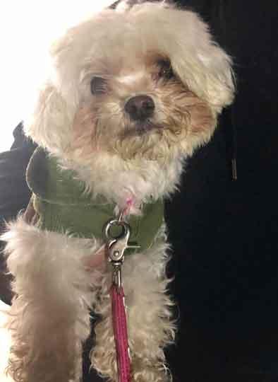 武居知未が虐待していたトイプードル犬の青ちゃんが無事保護!福島アダプトネットワークにより