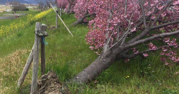 台風で倒れて、根っこがむき出しになった桜の木から花が咲いている