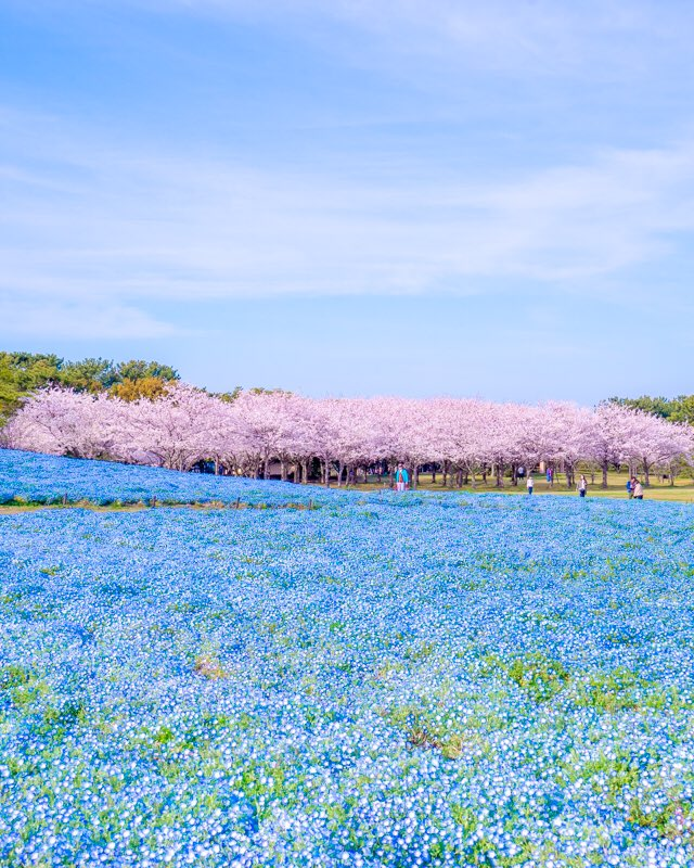 春のストライプ🌸桜とネモフィラのコラボが素敵すぎる!
