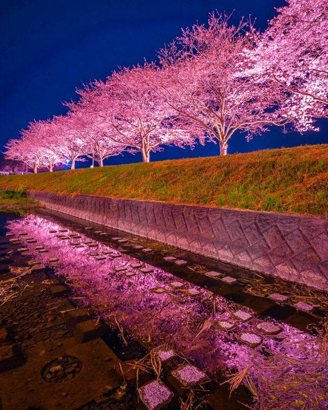 福岡県の筑前町にある草場川の桜並木