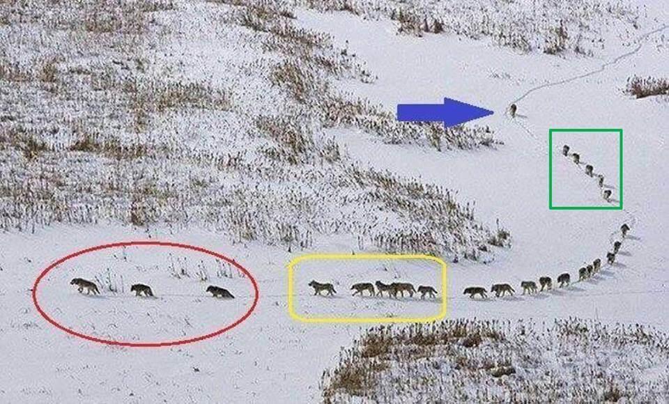 【リーダーは一番後ろ】狼の群れから学ぶリーダーシップ論がビジネスでも役立ちそう!