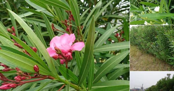 【注意喚起】「夾竹桃(きょうちくとう)」という毒性植物に注意!BBQで死亡した例も!