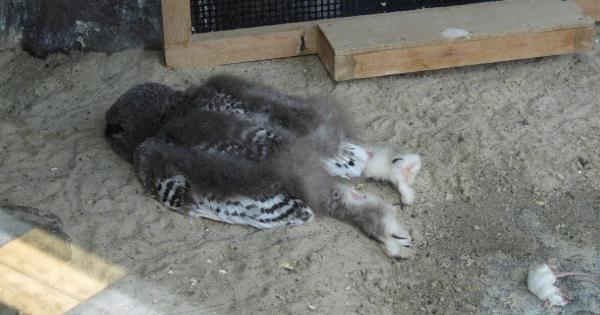 若いシロフクロウは頭の重さで転倒してしまいうつ伏せで寝ることがあるらしい