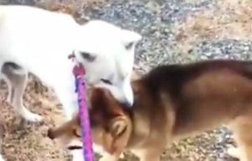 【動画】紀州犬で他人の飼い犬を襲わせる虐待映像が炎上!愛媛県在住の飼い主の名前はRinei Kimura?顔画像は?