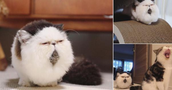 「毛玉のように見えるネコ」が予想以上に毛玉だった件www