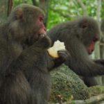 「二度とするな。二度と島に来るな!」屋久島のサルに「餌付け」した観光客に地元民が激怒!