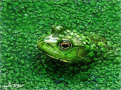 完全保護色のカエル