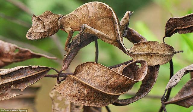 完全保護色のエダハヘラオヤモリ