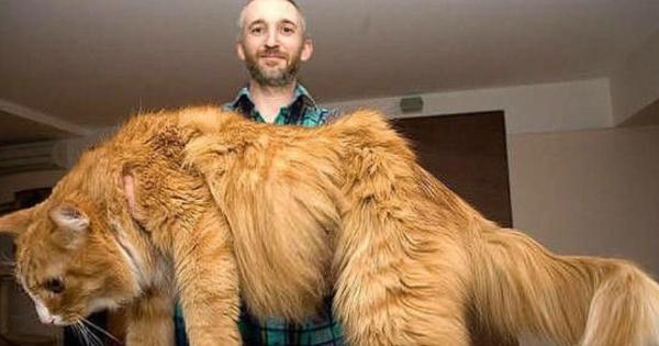猫の最大種メインクーンの大きさがよくわかる写真4枚が話題に!
