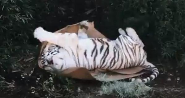 ホワイトタイガー模様の捨て猫が可愛い過ぎると話題にwww