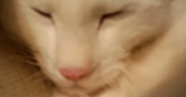 【拡散希望】猫が鼻をヒクヒクさせて呼吸する「鼻翼呼吸」をしていたら肺水腫で亡くなるリスクがあります!すぐに動物病院を受診させてください!