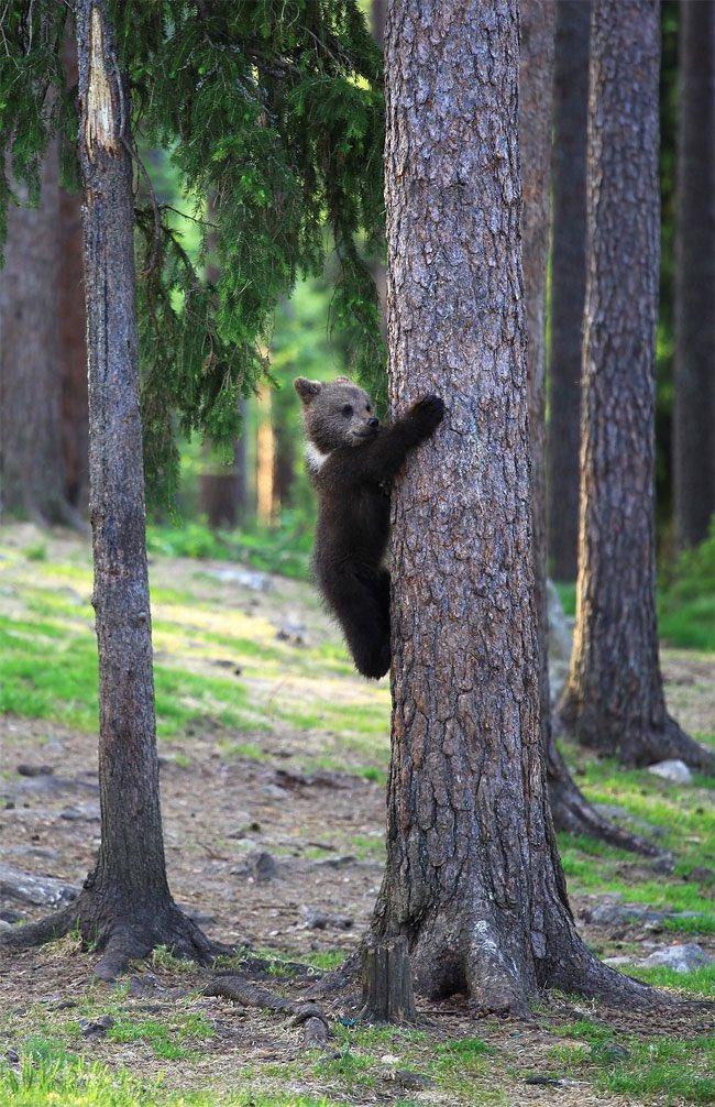 フィンランドの踊るヒグマの子供が可愛すぎると話題に!