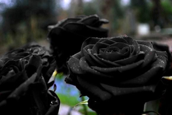 トルコの一部にしか咲かない「ハルフェティの黒バラ」はデマ?本当に実在するの?