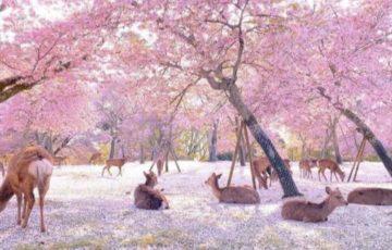 緊急事態宣言後の奈良公園の映像が「まるで桃源郷のよう」だと話題に!