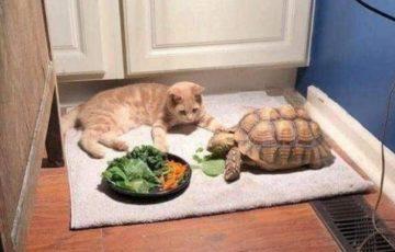 亀の友達と遊つもりが食事の時間が長すぎて待ちくたびれて眠った猫