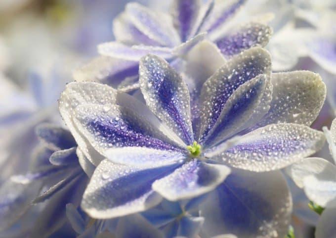 島根県産のアジサイ(紫陽花)の新品種「万華鏡」が神秘的なまでに美しい!