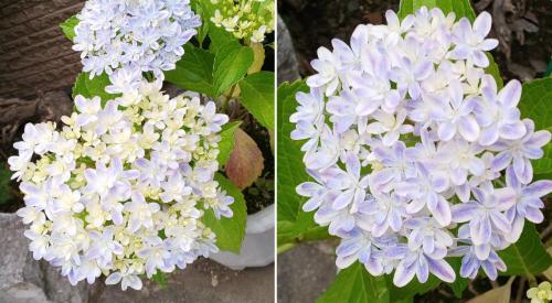 島根県産のアジサイの新品種「万華鏡」が神秘的なまでに美しい!
