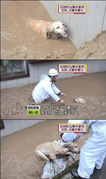 テレビの街頭インタビューでの面白い名言画像まとめ:犬の救助で:ハナコ!よーし来い!チェリーだよチェリー