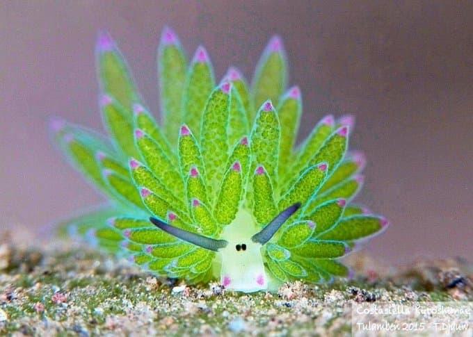 海葉ナメクジが細胞を吸収して光合成する姿が妖精やポケモンのようで可愛いと話題に!