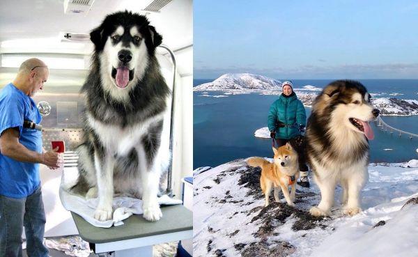 アラスカンマラミュートがとにかく大きくて可愛い!