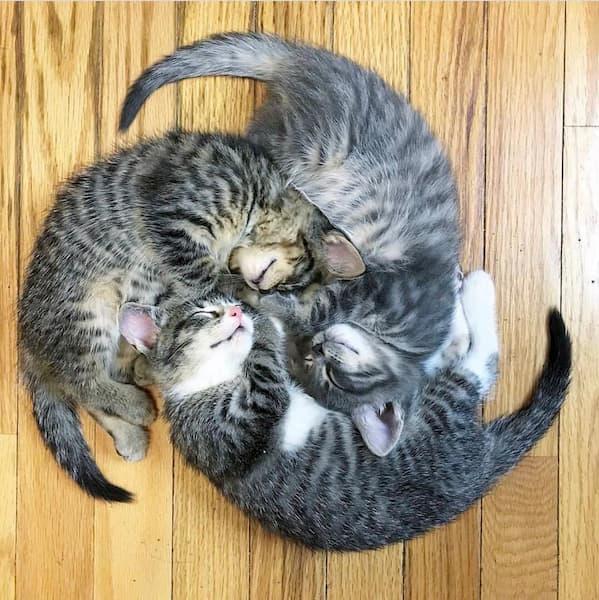 家紋にしたくなる「猫三つ巴」はこんな感じです。