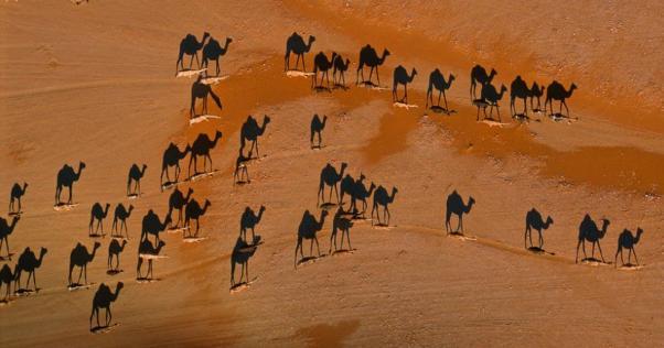 白いのと黒いのどちらかが本物のラクダで、もう一方はラクダの影です。皆さんはわかりましたか?
