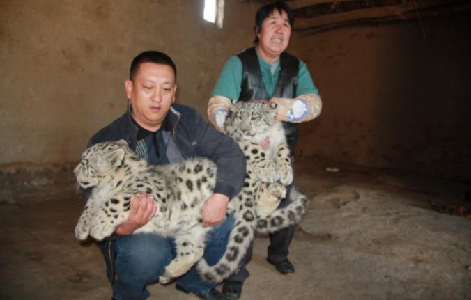 猫拾って育ててたら・・・猫じゃなく雪豹だったことが発覚した話が面白すぎるwww