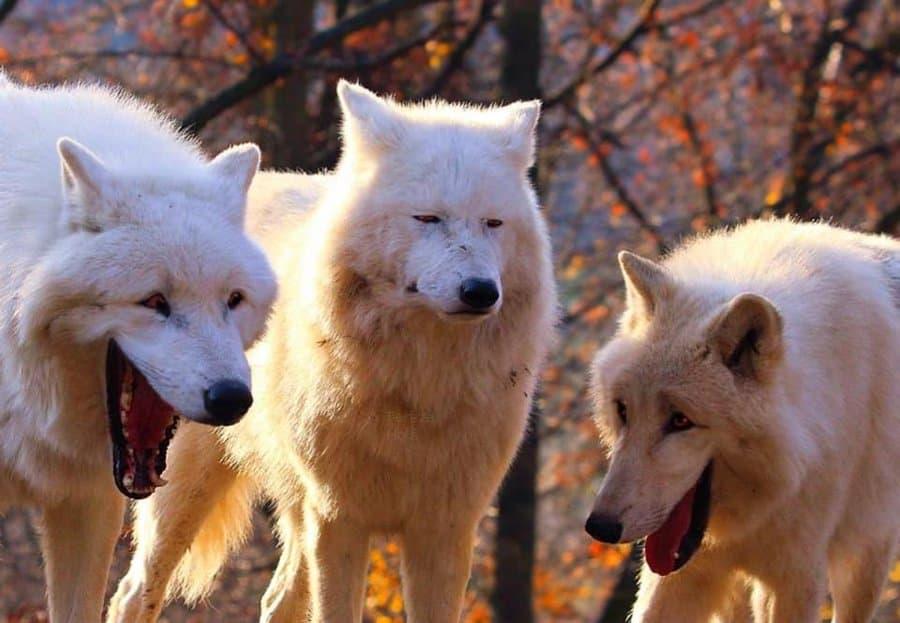 もののけ姫見てたら4頭目の山犬が現れた